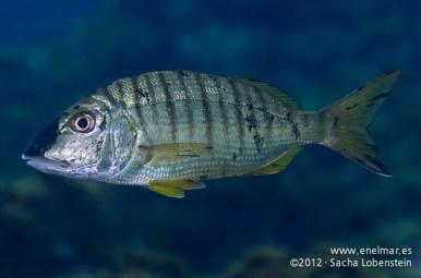 20120205 0926 - enelmar.es - Herrera (Lithognathus mormyrus), Teno