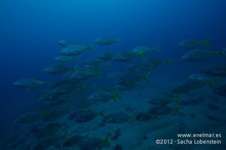 20120211 1104 - enelmar.es - Jurel (Pseudocaranx dentex), Muelle de Porís de Abona