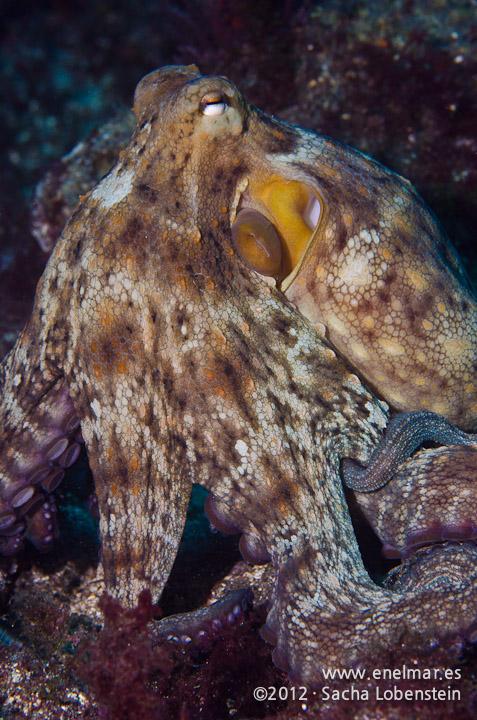 20120219 1025 - enelmar.es - Las Eras, Pulpo (Octopus vulgaris)