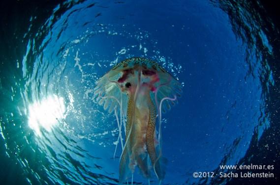 20120221 0948 - enelmar.es - Medusa (Pelagia noctiluca), Muelle de Porís de Abona