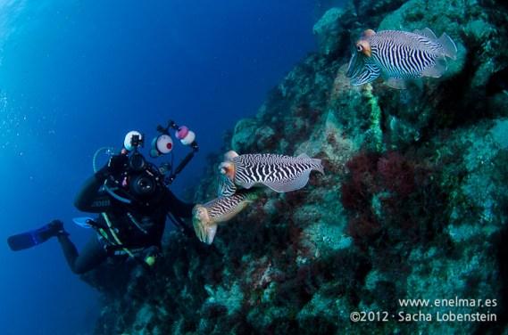 20120221 1027 - enelmar.es - Choco (Sepia officinalis), Muelle de Porís de Abona, Mundi