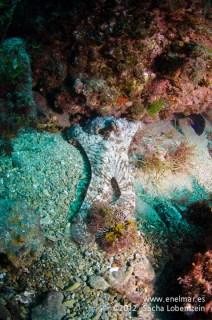 20120221 1051 - enelmar.es - Muelle de Porís de Abona, Pulpo (Octopus vulgaris)