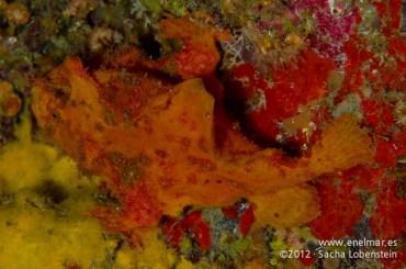 20120226 0959 - enelmar.es - Antenario o Pez esponja (Antennarius nummifer), Las Eras