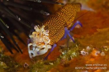 20120311 0938 - enelmar.es - Camarón de lunares (Gnathophyllum elegans), Las Eras