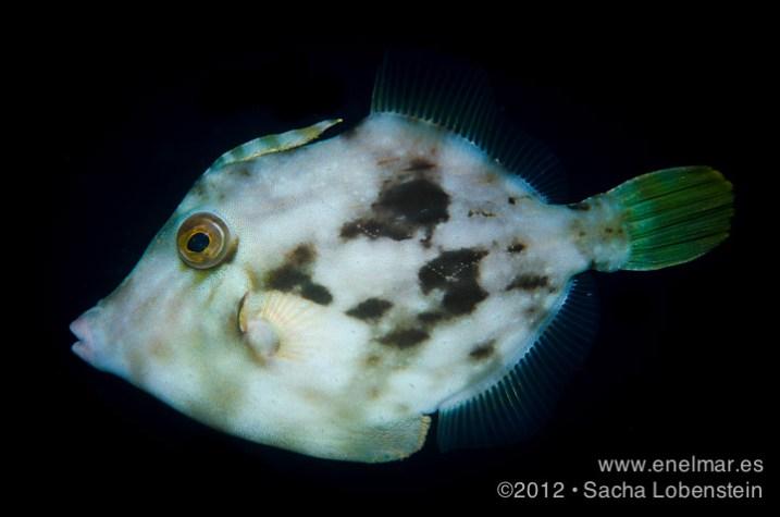 20120415 0903 - enelmar.es - enelmar, fotografía submarina, Gallo oceánico (Canthidermis sufflamen), Sacha Lobenstein