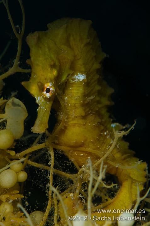 20120505 1559 - enelmar.es - Caballito de mar (Hippocampus hippocampus), Muelle de El Porís de Abona