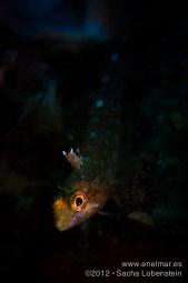20120602 1015 - enelmar.es - Gobios, Sacha Lobenstein, Teno