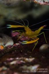 20120603 0946 - enelmar.es - Camarón espinoso (Stenopus spinoso), Sacha Lobenstein, Teno