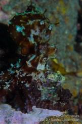 20120714 1900 - enelmar.es - Muelle de Garachico, Pulpo (Octopus vulgaris)