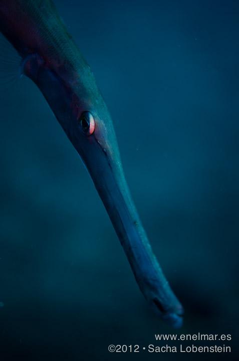 20120717 1559 - enelmar.es - Pez trompeta (Aulostomus strigosus), Punta Prieta