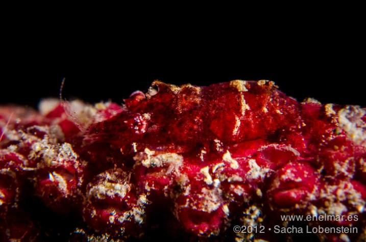 20120717 1614 - enelmar.es - Camarón de la gorgonia (Balssia Gasti), Punta Prieta-2
