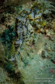 20120802 1717 - enelmar.es - Caballito de mar (Hippocampus hippocampus), Muelle de El Porís de Abona