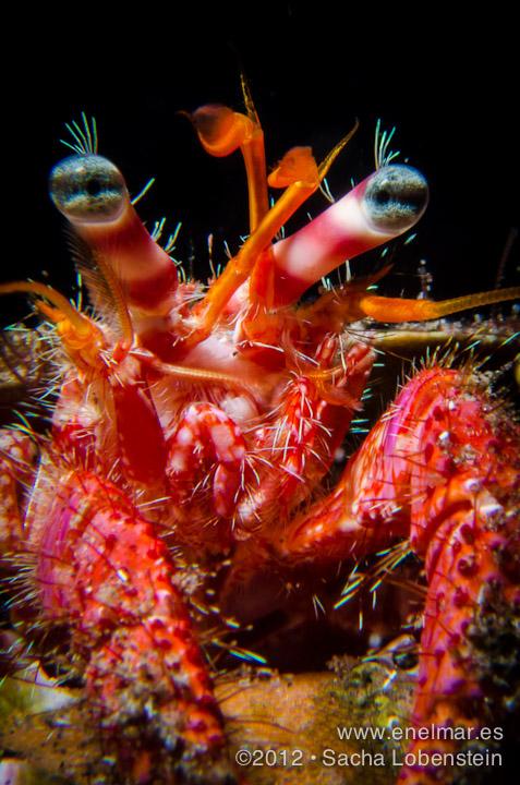 20120802 1810 - enelmar.es - Cangrejo ermitaño (Dardanus calidus), Muelle de El Porís de Abona