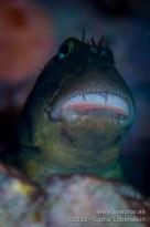 20120807 1905 - enelmar.es - Barriguda mora (Ophioblennidus atlanticus), Muelle de Puerto de la Cruz