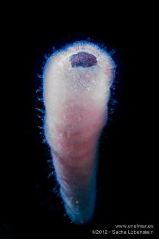 20121028 1229 - enelmar.es - Adrián, Las Eras, Pirosoma (Pyrosoma atlanticum), Sacha Lobenstein