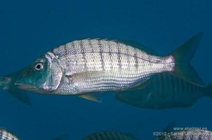 20121103 1132 - enelmar.es - El Tablado, Herrera (Lithognathus mormyrus), Sacha Lobenstein