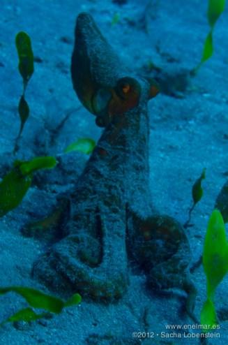 20121124 1253 - enelmar.es - Fabiana (Octopus macropus), Muelle de El Porís de Abona, Sacha Lobenstein