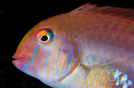 20121230 1122 - enelmar.es - El Tablado, Pejepeine (Xyrichthys novacula)