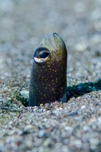20130210 1207 - enelmar.es - anguila jardinera (Heteroconger longissimus), Radazul