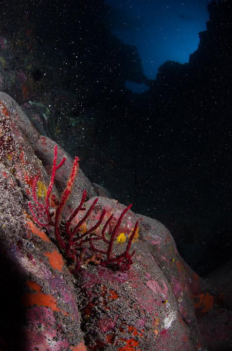 Retoque de una gorgonia roja en Garachico
