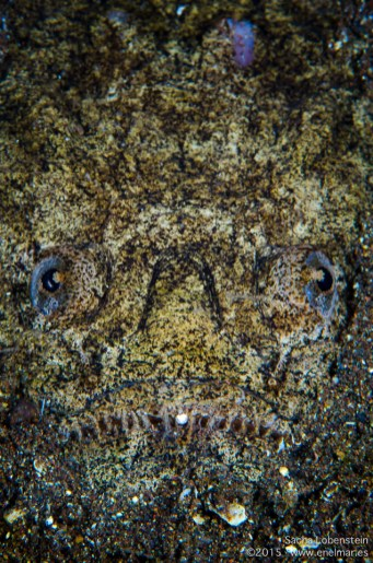Pejesapo o Pez rata (Uranoscopus scaber)
