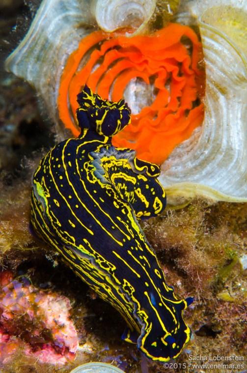 Babosa de mar (Hypselodoris picta webbi) con su puesta detrás
