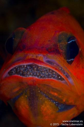 20150626-1310-SachaLobenstein-enelmar.es-alfonsito (Apogon imberbis), Playa Chica < Puerto del Carmen
