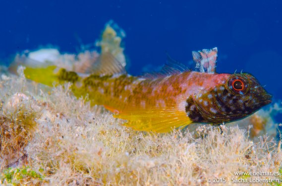 20150628-1303-SachaLobenstein-enelmar.es-cabecinegro (Tripterygion delaisi), Playa Chica < Puerto del Carmen