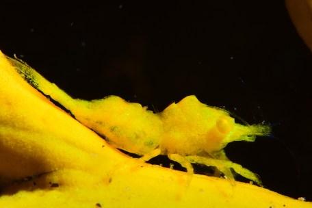 Premio a la mejor foto macro del campeonato. Balsia en gorgonia amarilla en la inmersión de El Camell.