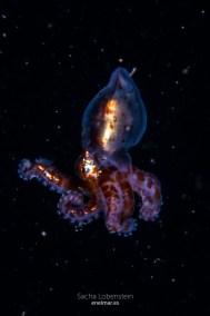 20160228-1142-SachaLobenstein-enelmar.es-Pulpo (Octopus vulgaris), Radazul