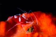 20180107-0944-SachaLobenstein-enelmar.es-Camarón avispa rojo (Gnathophylleptum tellei)