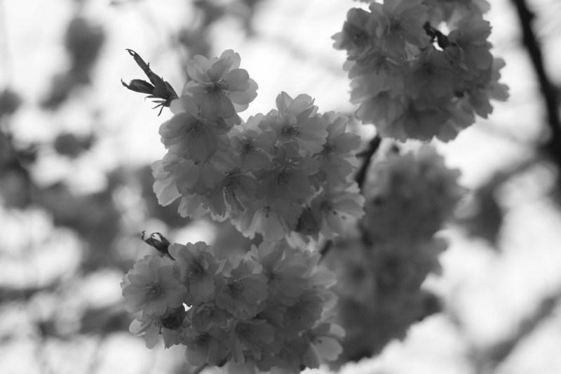 svartvitt foto blommor