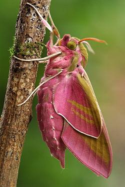 caterpillard