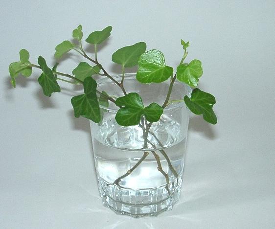 plante grimpante qui pousse vite