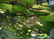 quelle plante grimpante pour pergola