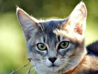 1bcf7dda12b380808279308929cfd6b5 - Léčivá síla kočičího předení má dlouhou historii