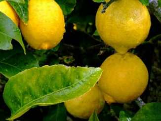 8ca73b70068ff6411217c89d21ab3904 - Jak si doma vypěstovat citróny ze semínka