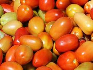 2e6f6b8c9ca9e5e2ee9a88c6729ed4ef - Geneticky modifikované rajče poprvé zabíjelo