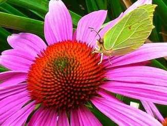 ac77202bd0bafa356819cc1a87ea36ba - Šest rostlin s vysokým obsahem kanabinoidů