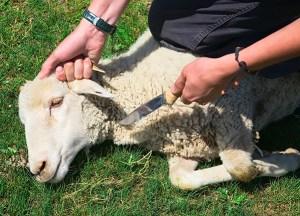 Podříznutí ovce.