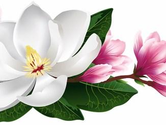 Magnolie pozitivně ovlivňuje spánek a celkové zdraví.