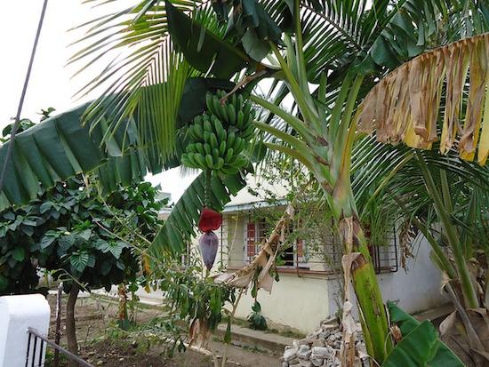 Humid-climate-conference-banana-trees.jpg
