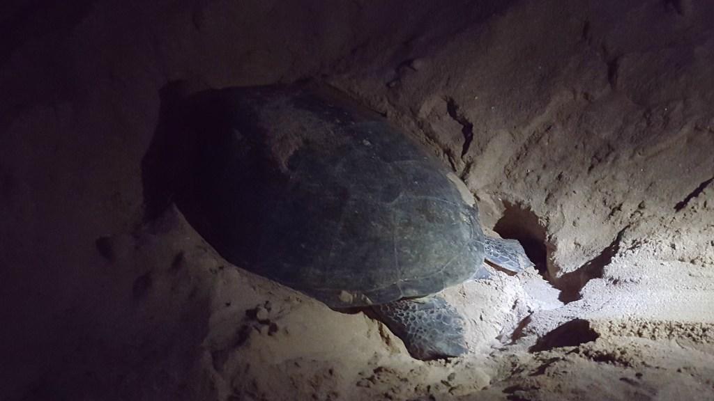 Havskildpadden, der graver sit hul