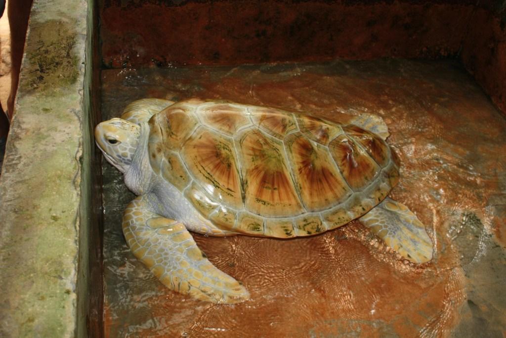 havskildpadde_Sri_Lanka_5