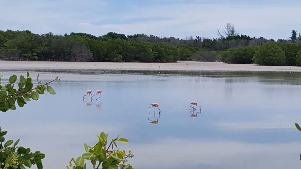 Cayo_Coco_Flamingoer