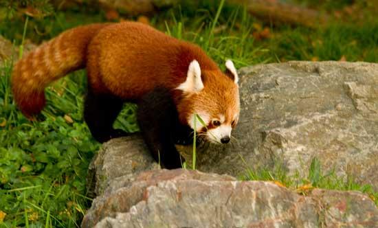 panda-roux-parc-tête-or-lyon
