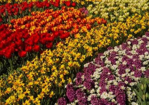 fleurs-hollande-keukenhof