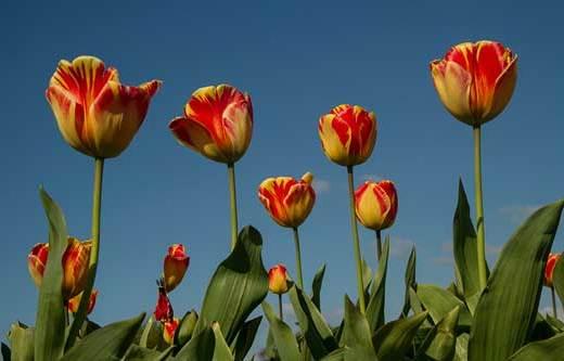 tulipes-hollande