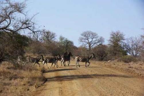 voyage-afrique-du-sud-zèbres