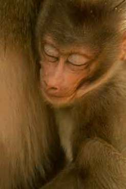 primate-mandrill-zoo-saint-martin-la-plaine
